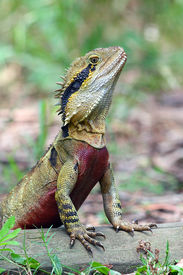 image of goanna  - photographed at Australia Zoo in the wild in the bush - JPG