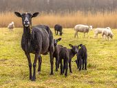Black Sheep Family