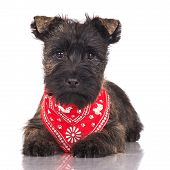 cairn terrier puppy in a red bandana