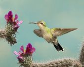 Female Broad-billed Hummingbird with Cactus Flowers