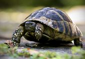 foto of omnivores  - forest turtle in its natural environment close up