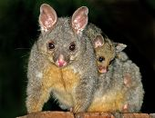 foto of possum  - Mother and baby possum - JPG
