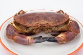 Edible Crab ( Cancer Pagurus )
