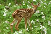 fawn in the spring