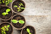 foto of germination  - Potted seedlings growing in biodegradable peat moss pots on wooden background with copy space