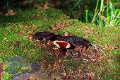 Lingzhi Mushroom Or Reishi Mushroom - Ganoderma Lucidum