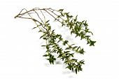 Isolated Single Sprig Of Fresh Garden Thyme