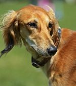 pic of greyhounds  - Greyhound at a dog show in the spring - JPG