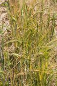 Barley Stalks