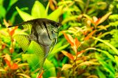 Tropical Fish Pterophyllum Scalare