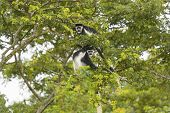 Black-and-white Colobus Monkeys In A Tree
