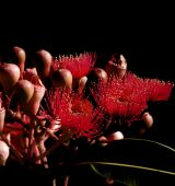 Abstract On Black Red Flowers Eucalyptus Phytocarpa