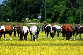 stock photo of feeding horse  - A herd of horses feeding in a countryside field - JPG