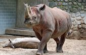 The black rhinoceros