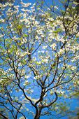 White flowering dogwood tree (Cornus florida) in bloom in sunlight