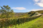 Autumnal vineyards on the hills of Langhe under blue sky in Piedmont, Northern Italy.