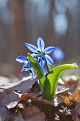 Blue snowdrop in a wood