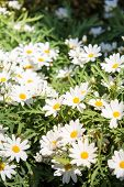 White Daisies In The Summer