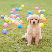 golden retriever puppy Sitting In the grass with the colorful balls on the backside.