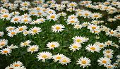 Daisies In Green Leaves