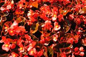 image of begonias  - Background of Red Begonias Growing in the Summer Sun - JPG