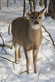 Snowy Winter Deer