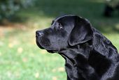 Beautiful Labrador Portrait
