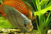 stock photo of diskus  - Discus fish in tank - JPG