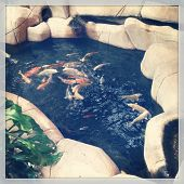 Fish pond with fish - instagram effect