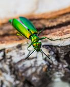 Green Beetle On A Birch Stump