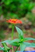 Close Up Orange Zinnia Flower