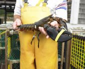 image of elastrator  - Man in yellow fishing bib holding lobster - JPG