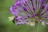 Bee On Purple Flower Of Allium