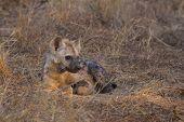 Resting hyena pup