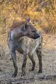Hyena adult in the wild 1
