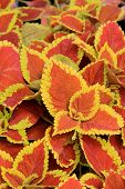Healthy leaves of Coleus plant