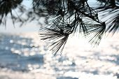 Pine tree and lake
