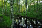 River With Dark Water And Blossoming Water Lilies At Sunset Slowly Flows Through The Birch Forest