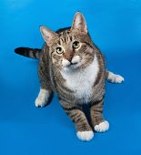 image of blue tabby  - Tabby and white cat lying on blue background - JPG