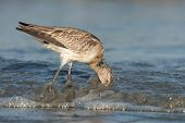 Bar-tailed Godwit (limosa Lapponica) Plunging Its Head Into The Sandy Surf