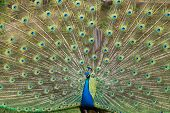 Fanned Peacock