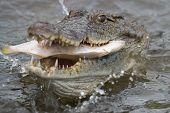 West African Crocodile (crocodylus Suchus) Eating A Fish