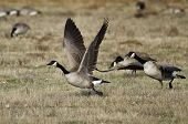 Canada Geese Taking To Flight From An Autumn Field