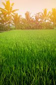 Paddy field in early morning sunrise lined with coconut trees, focus on trees in background.