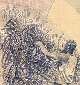UGANDA - ZIRKA 1983: Kaffee Ernte