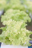 Closeup Green Coral Plants On Hydrophonic Farm