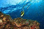 Scorpionfish and Moorish Idol on coral reef