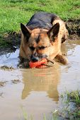 German Shepherd dog in a puddle