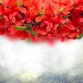 Blossoming Plum Flowers on sky background