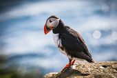 Puffin, Iceland
